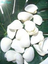ホワイトシェル【貝殻 シェル シーシェル seashell 天然貝 海 砂浜 インテリア ハワイアンウェディング 通販】