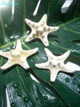 きれいな貝殻 ミニコブヒトデ スターフィッシュ  3個セット 海 ディスプレイ