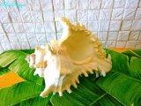 テング貝 きれいな貝殻 シェル 貝殻 シーシェル SHELL