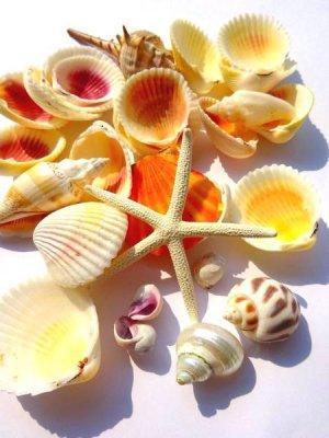 画像1: 貝殻 スターフィッシュ入り シェルセット