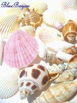 美しい海の贈り物天然貝シェルセット・スモール 貝殻 シェル シーシェル seashell  通販
